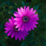 Closeup of purple daisybush flowers stock photography