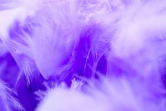 Closeup purple feather ,Multicolored feathers ,background texture, abstract royalty free stock image
