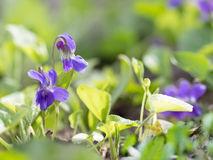 Closeup purple flowers  blooming in spring  in wild meadow. Nature background. Stock Photography