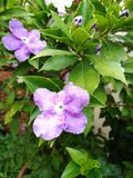 Purple flowers closeup. Closeup of purple flowers, brunfelsia australis, blooming in garden with green leaf background Stock Photography