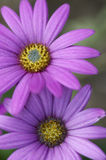 Closeup of purple flowers in spring Royalty Free Stock Photo