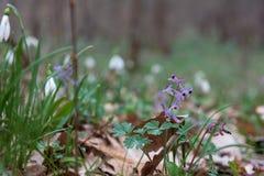 Closeup purple flowers Viola odorata Royalty Free Stock Photos