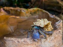Closeup of a purple hermit land crab, popular crustacean from japan, crab with a beautiful seashell. A closeup of a purple hermit land crab, popular crustacean royalty free stock photography