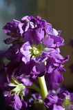 Closeup purple hoary stock matthiola incana stock photo