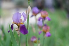 Closeup of a purple Iris flower. royalty free stock images