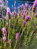 Closeup of purple lavender flowers stock photography