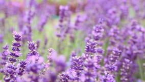 Closeup of purple lavender flowers. Selective focus. Movement under field of lavender.
