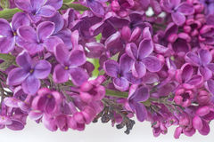 Closeup of purple lilac flower Royalty Free Stock Images