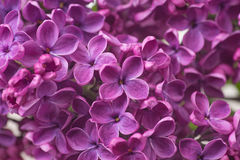 Closeup of purple lilac flower Stock Photography