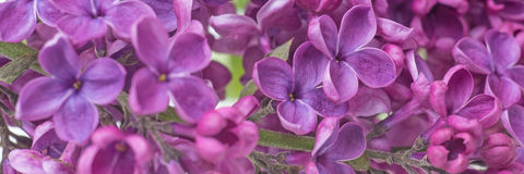 Closeup of purple lilac flower Stock Photo