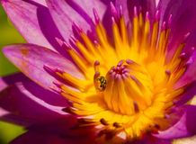 Closeup purple lotus flower with bee Royalty Free Stock Photography
