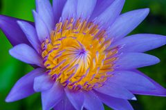 Closeup purple lotus. With yellow pollen Stock Images