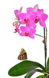 Closeup of a purple orchid Royalty Free Stock Image