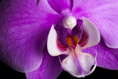 Closeup Purple Orchid Flower Against Dark Background Stock Photography