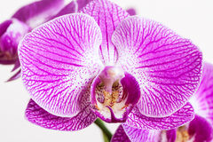Closeup purple orchid flower Stock Images