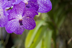Closeup purple Orchid flower in the garden Stock Photos