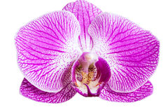 Closeup purple orchid flower Stock Photography
