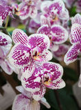 Closeup purple orchid Royalty Free Stock Photo