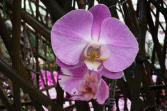Closeup purple orchid Royalty Free Stock Photography