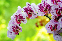 Closeup of purple orchid Stock Images