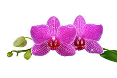 Closeup of a purple orchid Stock Image