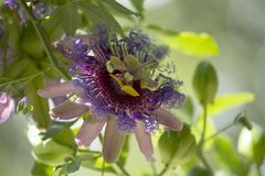Purple Passionflower. Closeup of a a purple passionflower (passiflora royalty free stock images