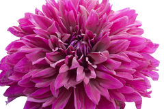 Closeup of a Purple Peony. In Summer stock image