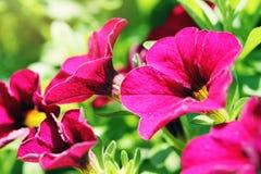 Closeup of purple petunias Royalty Free Stock Image