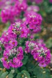 Purple primrose flowers with green leaves royalty free stock photo