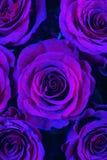 Closeup of Purple Roses. Closeup of Several Purple Roses royalty free stock image
