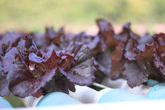 Closeup purple salad orrganic lettuce. In garden Stock Photography