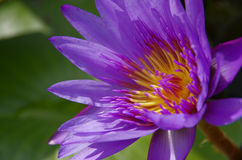Tropical water lily. Closeup purple tropical water lily Royalty Free Stock Images