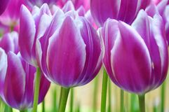 Closeup of purple tulip flowers