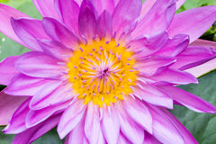 Closeup purple Water lilly Royalty Free Stock Image
