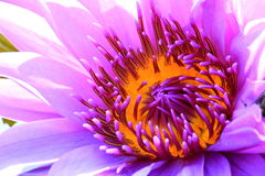 Closeup purple water lily Royalty Free Stock Photo