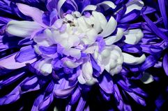 Closeup purple with white centered dahlia royalty free stock photo
