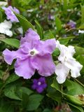 Purple and white flowers. Closeup of purple and white flowers, brunfelsia australis, blooming with green leaves Stock Images