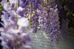 Closeup of purple white Wisteria flowers in front of white brick wall stock image