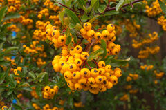 Closeup of pyracantha yellow berries, autumn garden Stock Images