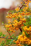 Closeup of pyracantha yellow berries, autumn garden Royalty Free Stock Photo
