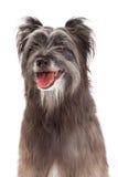 Closeup of Pyrenean Shepherd Dog Royalty Free Stock Photos