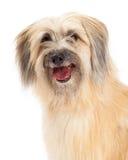 Closeup of Pyrenean Shepherd Dog Stock Photography