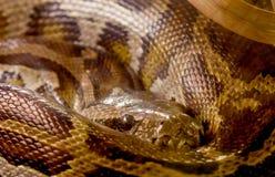 Closeup Python snake Royalty Free Stock Photos