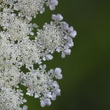 Closeup of Queen Anne`s Lace Daucus carota royalty free stock photo