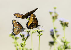 Closeup of Queen Butterflies flying and perched on flowers. Three Queen Butterflies perched on lavender wildflowers with a plain tan background Royalty Free Stock Photography