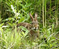 Closeup of A Rabbit Munching on Grasses Stock Photography