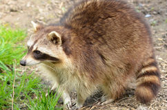 Closeup of Raccoon Royalty Free Stock Photo