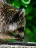 Closeup of a raccoon Stock Photos