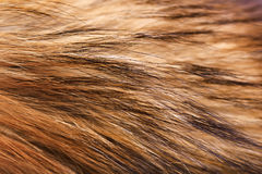 Closeup raccoon fur. Macro. horizontal Stock Images