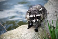 Closeup of a Raccoon by water Royalty Free Stock Photos